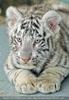 White Tiger Family 35