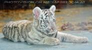 White Tiger Family 36