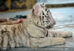 White Tiger Family 37