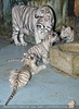 White Tiger Family 40