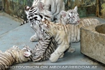 White Tiger Family 41