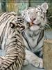 White Tiger Family 42