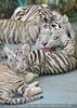White Tiger Family 43