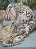 White Tiger Family 44