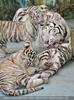 White Tiger Family 44