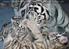 White Tiger Family 45
