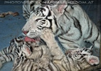 White Tiger Family 46