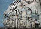 White Tiger Family 47