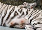 White Tiger Family 52