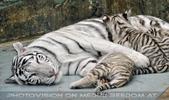 White Tiger Family 53