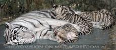 White Tiger Family 55