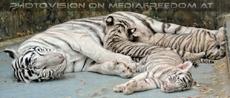 White Tiger Family 56