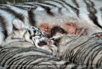 White Tiger Family 57