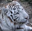 White Tiger Salim 05