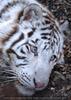 White Tiger Salim 07