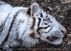 White Tiger Salim 08