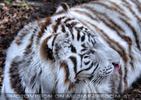 White Tiger Salim 13