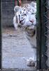 White Tiger Salim 19