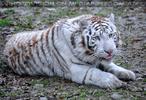 White Tiger Salim 25