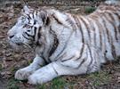 White Tiger Salim 38