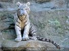 White Tiger Teens 24