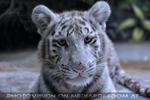 White Tiger Teens 32