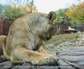 Wo ist mein Löwe
