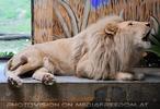 Löwen Gebrüll