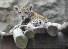 Leoparden Baby am Ausguck