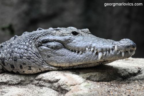 Krokostar: Krokodil