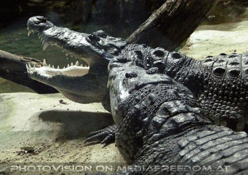 Mahlzeit: Krokodile