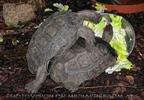 Schildkröten Liebe