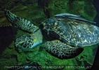 Wasserschildkröte Puppi 1