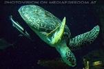 Wasserschildkröte Puppi 2