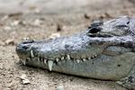 Beulenkrokodil (Crocodylus moreletii)