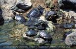 Wasserschidkröten im Brunnen