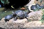 Wasserschidkröten im Brunnendenkmal