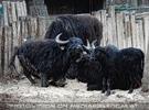 Hauswasserbüffel Familie