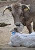 Kalb mit Kuh