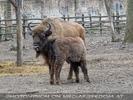 Bison Familie