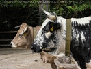 Zwei Küh