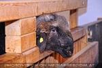 Schaf im Stall