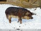 Borkenschwein