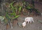 Hausschweinchen im Wald