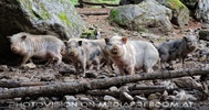 Schweinderln