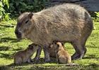 Wasserschwein Familie