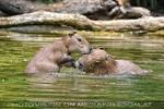 Wasserschwein Familien Bad