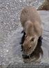 Wasserschweinferkel