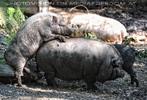 Wildschwein Ritt