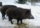 Wildschweine im Schnee